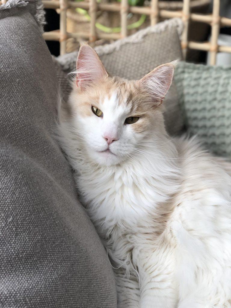 Levi is onze Main Coon kat